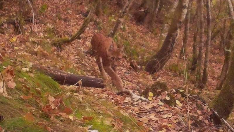 Lynx, 'geest van het woud', gefotografeerd in de Ardennen
