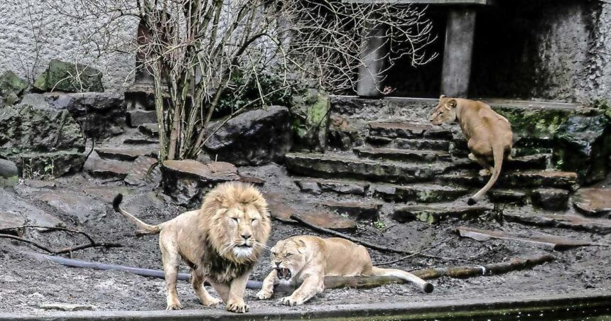 Dramatische beslissing Artis: ' We moeten onze leeuwen laten gaan'
